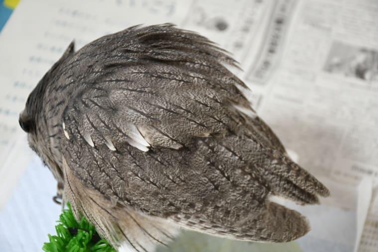 フクロウのあひる寝