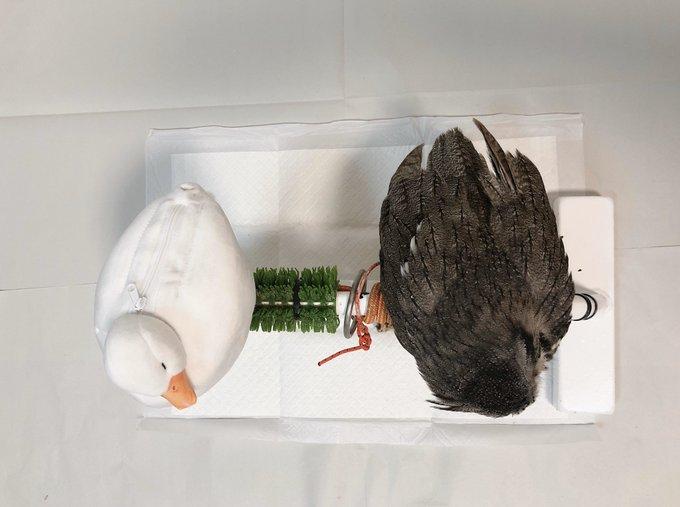 フクロウとアヒルの比較
