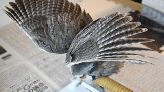 鳥のエンジェルポーズ