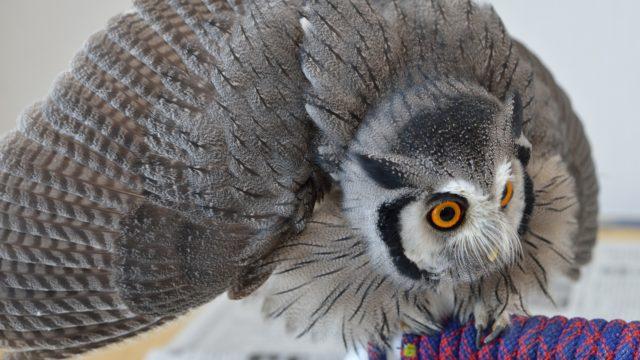 威嚇をするアフリカオオコノハズク