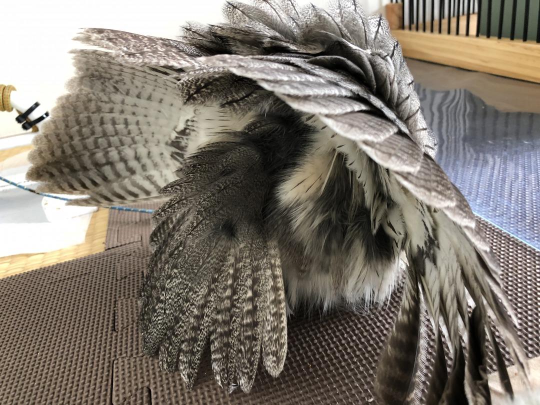 フクロウの威嚇の後ろ側