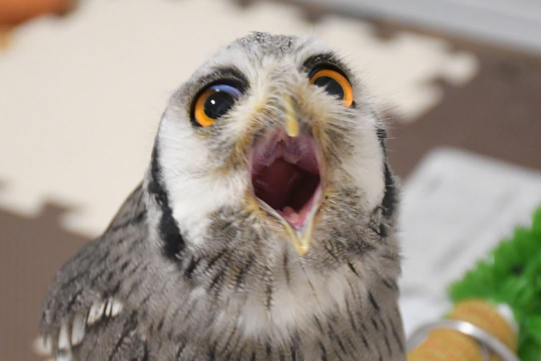 フクロウのオェー顔