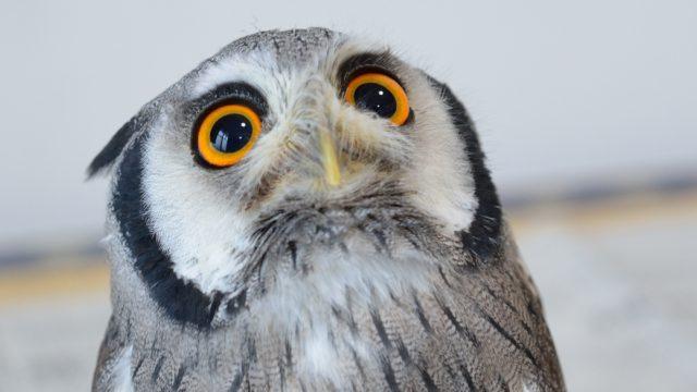 上目使いのフクロウ