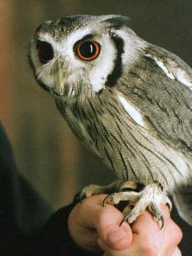 ハリーポッターのロンのフクロウ「ピッグウィジョン」