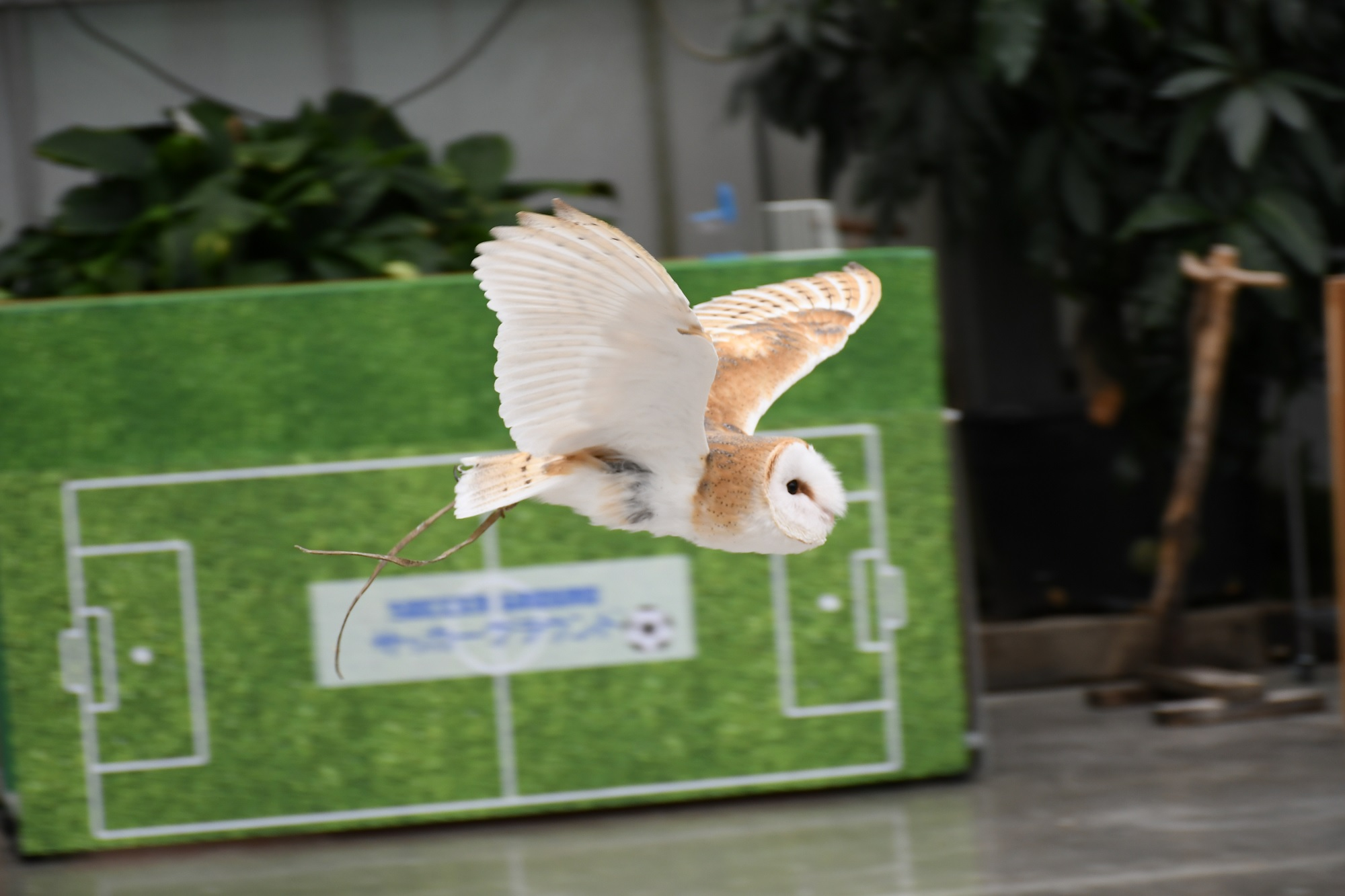 掛川花鳥園のメンフクロウ