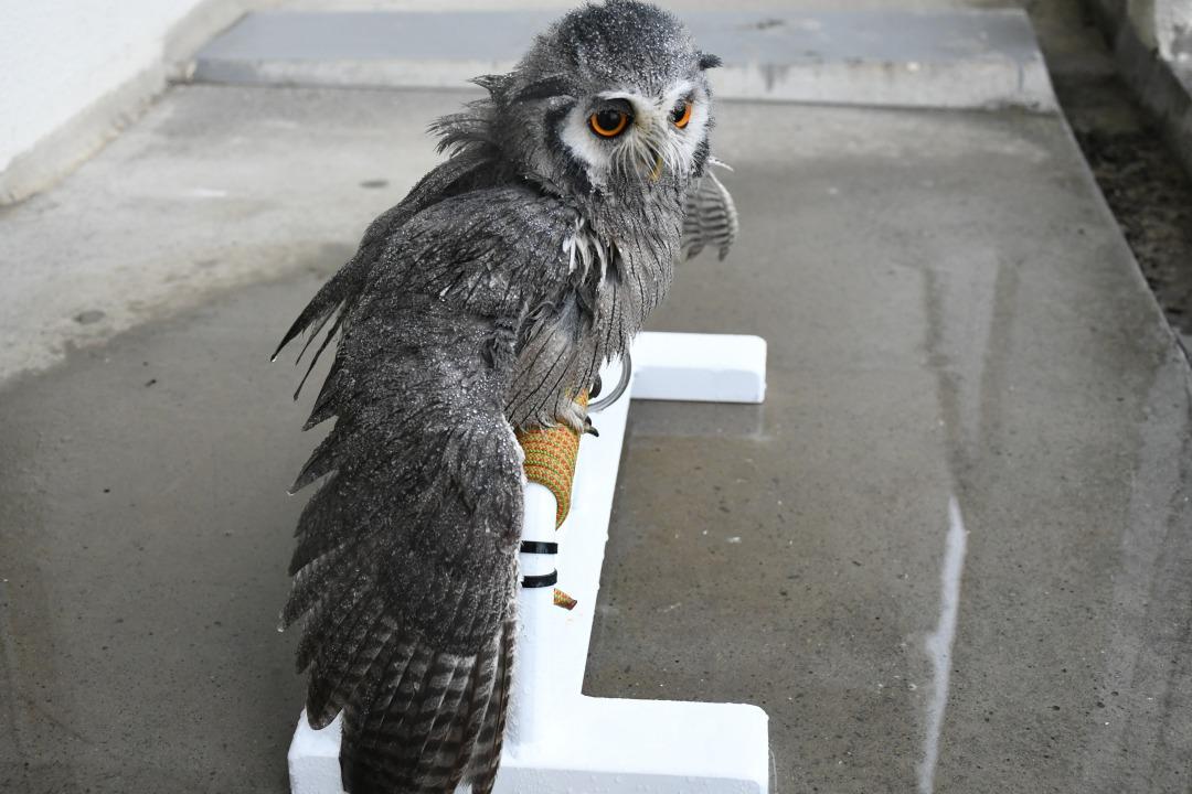 水浴びで翼を広げたフクロウ