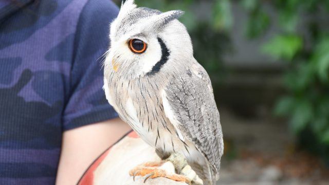 掛川花鳥園のアフリカオオコノハズク「ポポちゃん」