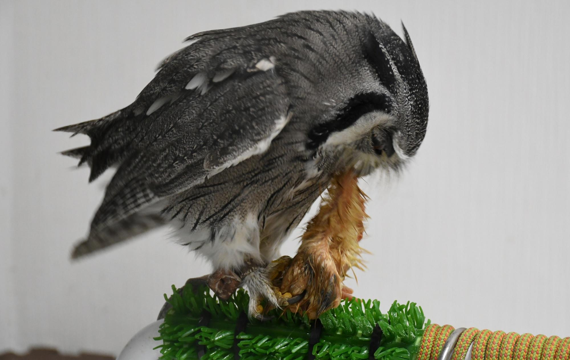 エサのヒヨコを食べるフクロウ