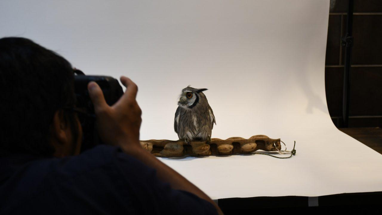 フェレットワールドのカレンダー撮影会に参加するフクロウ