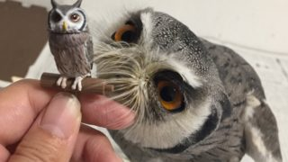 くるると福をよぶフクロウ大全3のアフリカオオコノハズク