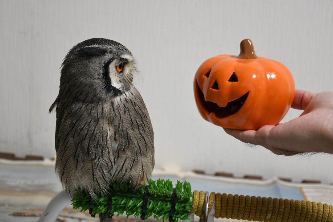 かぼちゃとフクロウ