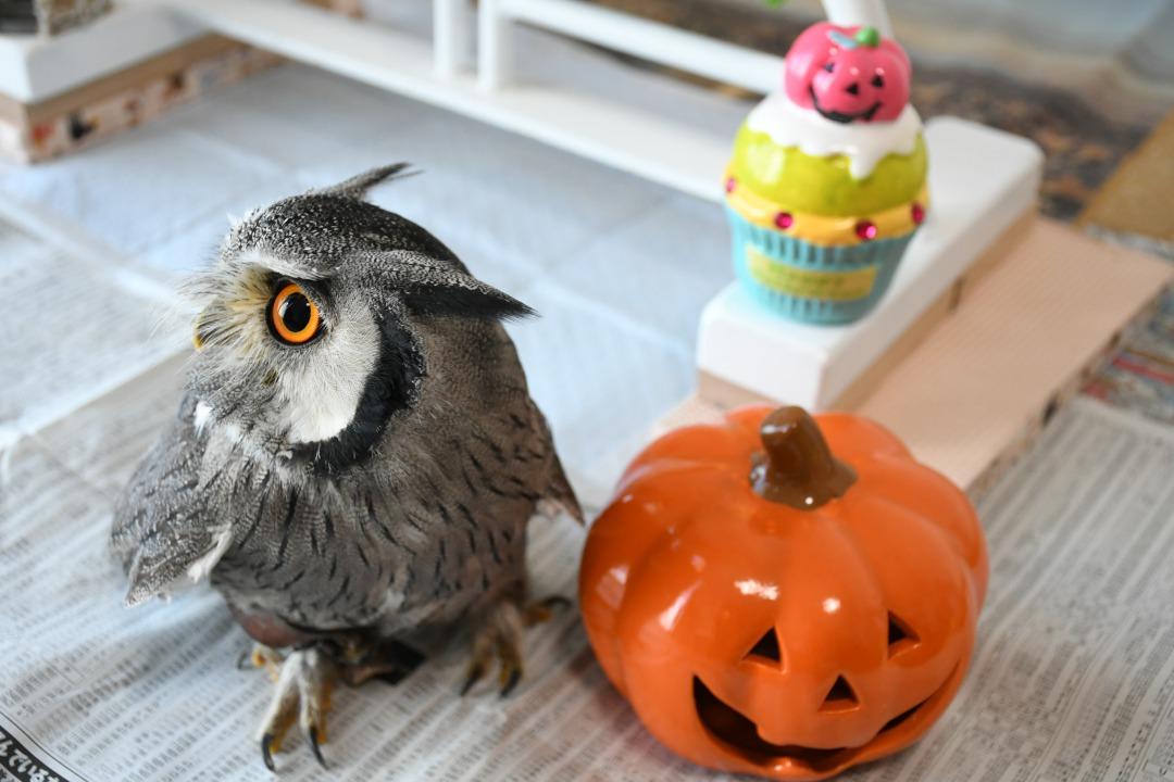フクロウのハロウィン