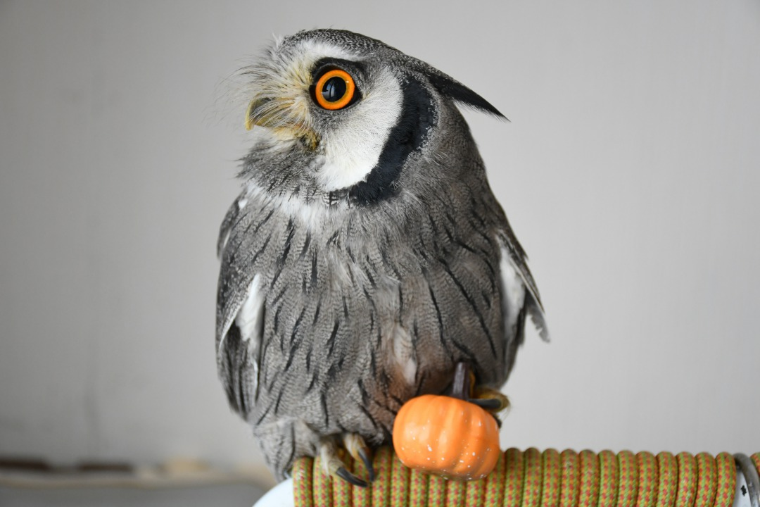 かぼちゃを握るフクロウ