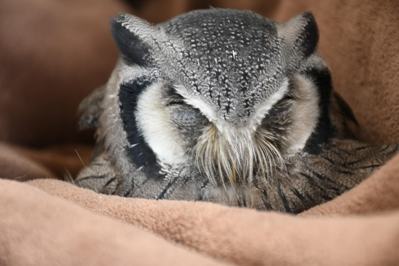 こたつ布団で寝るフクロウ