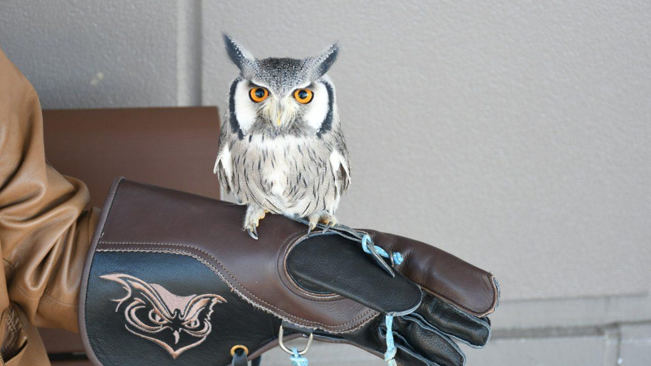 新調した猛禽用グローブ
