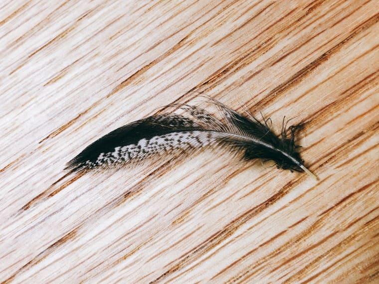 アフリカオオコノハズクの抜けた羽角