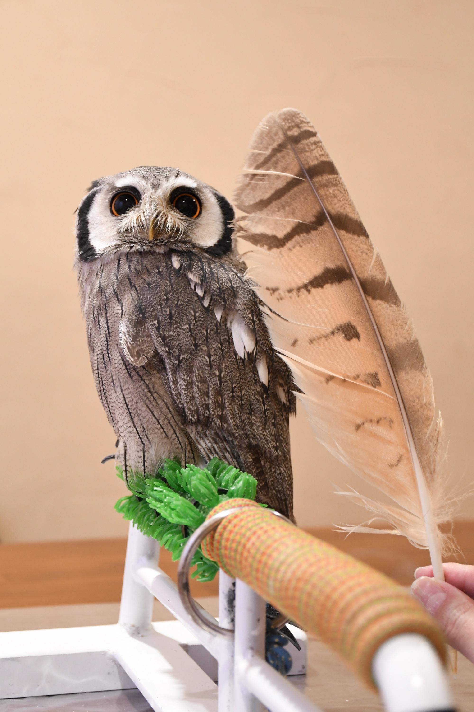 ユーラシアワシミミズクの羽根