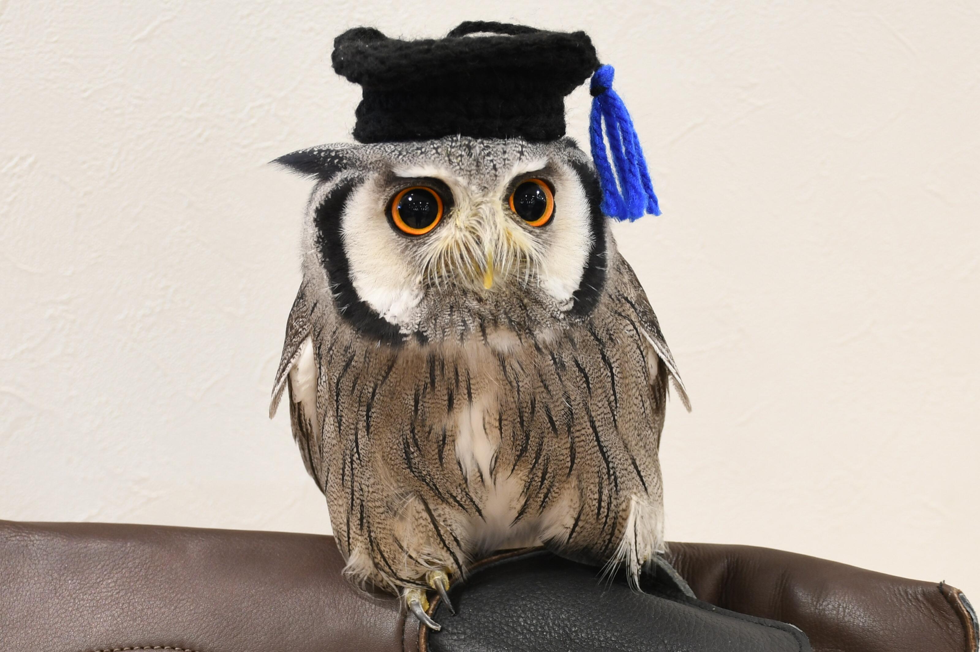 博士帽を被ったアフリカオオコノハズク