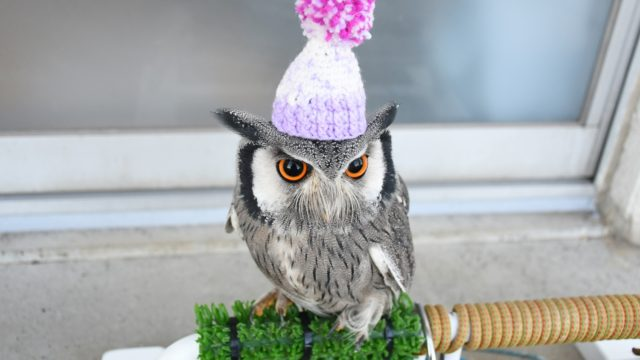 ニット帽を被るフクロウ