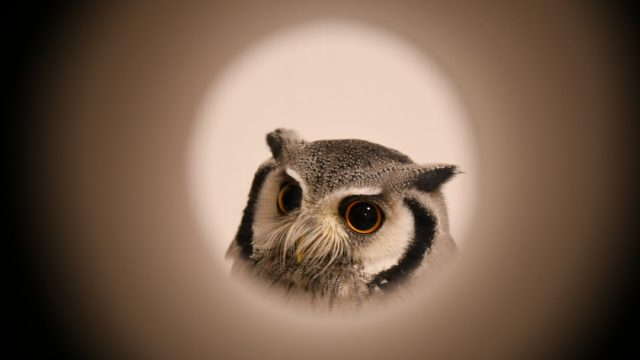お月様のようなフクロウ
