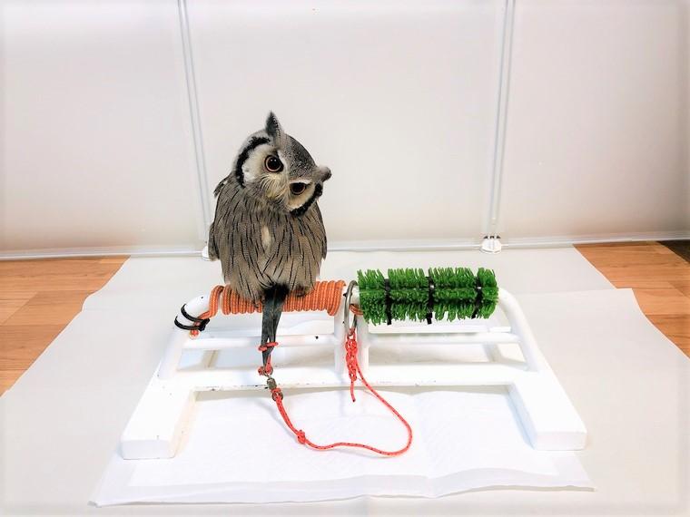 フクロウの係留飼育