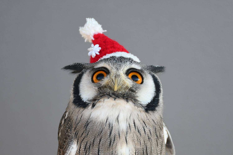 サンタクロース姿のフクロウ