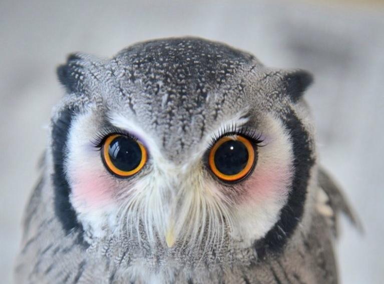 眼力の強いフクロウ