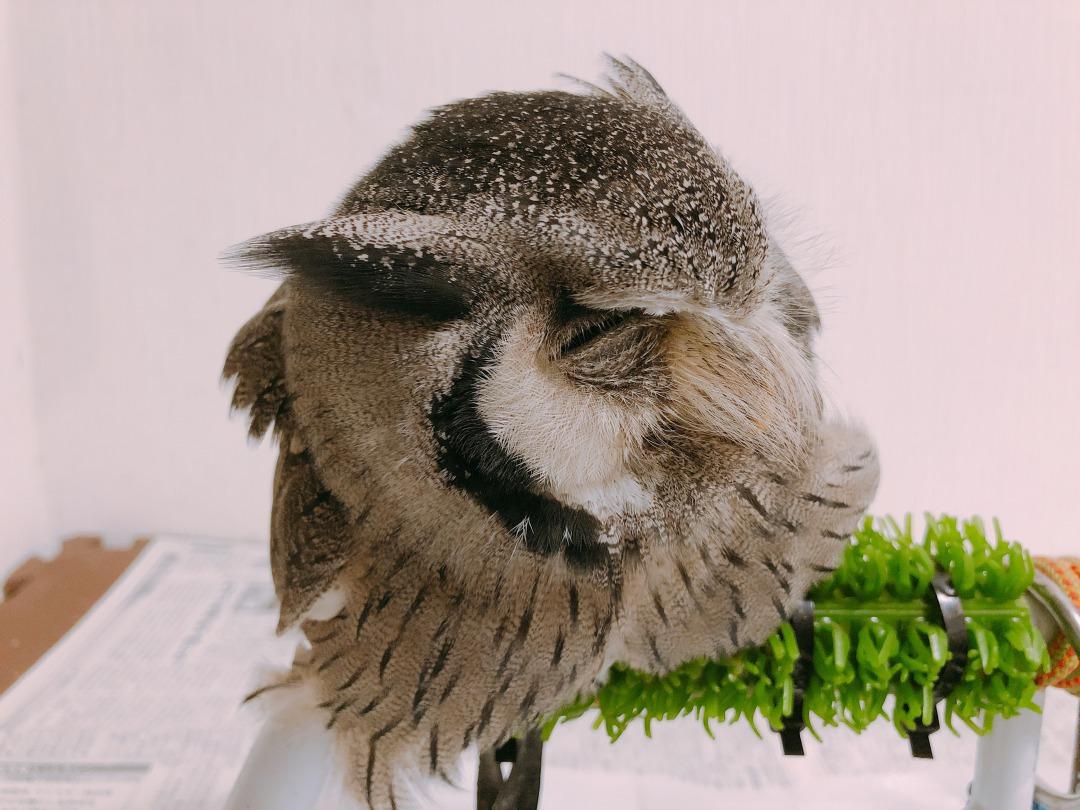 foodieで撮影したフクロウ