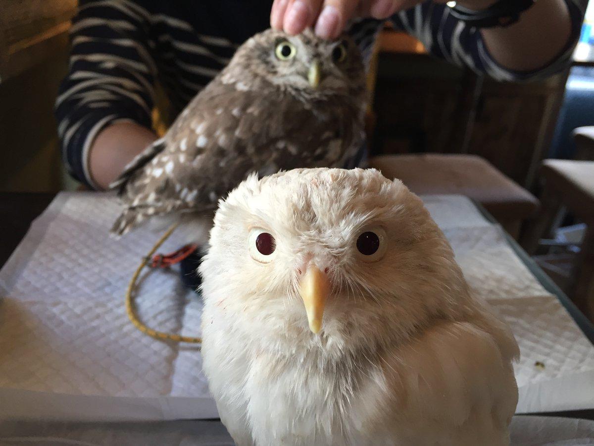 アルビノのコキンメフクロウ