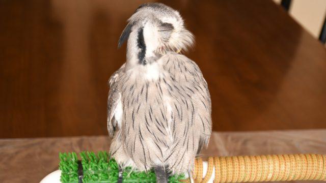 アフリカオオコノハズクの羽繕い