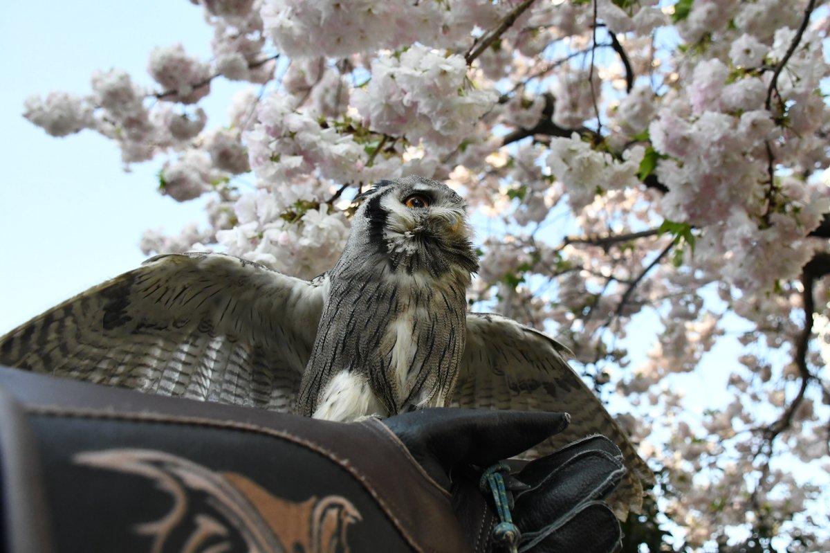 桜とアフリカオオコノハズク