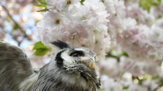 フクロウとお花見