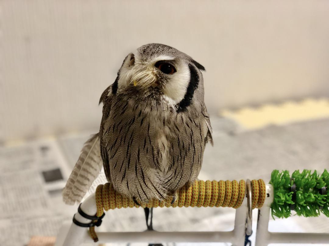 フクロウの換羽期