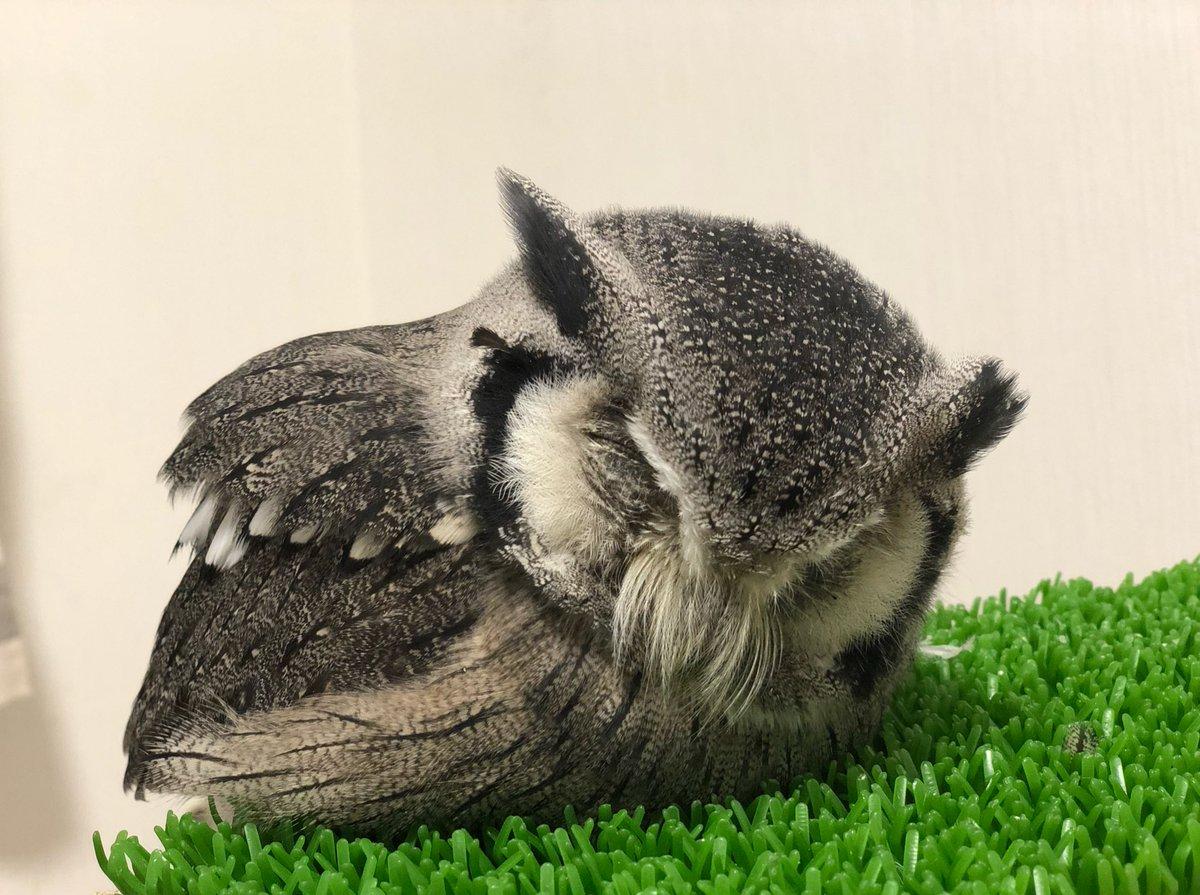 アヒル寝のフクロウ