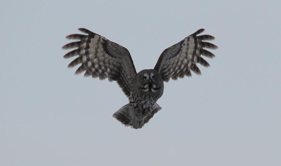 飛んでいるカラフトフクロウ