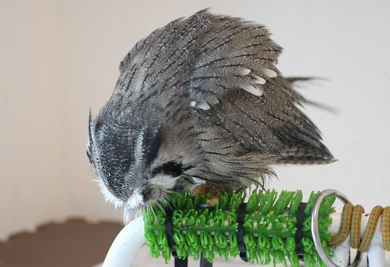 人工芝で遊ぶフクロウ