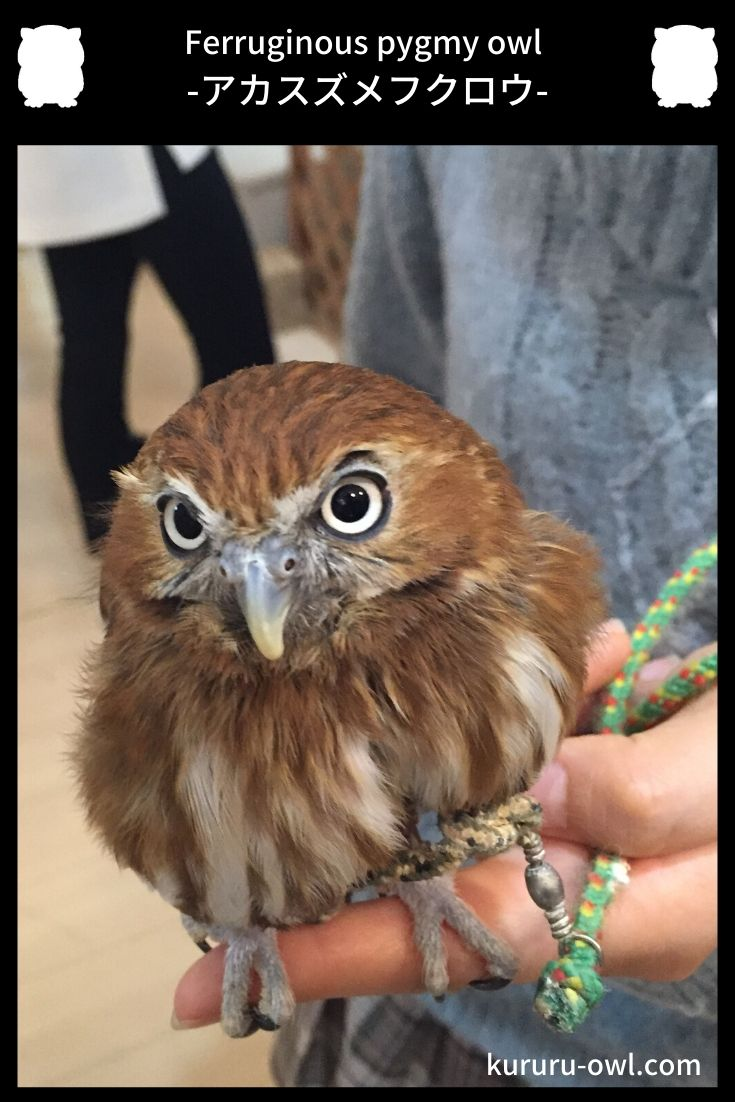 アカスズメフクロウ