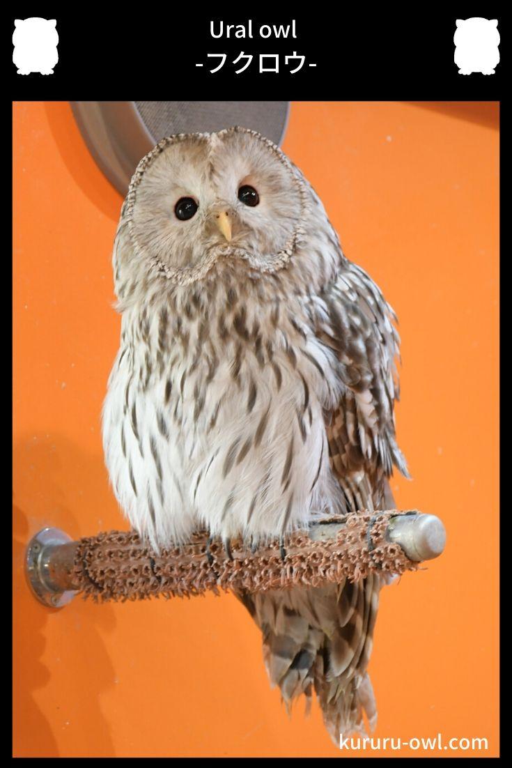 ウラルフクロウ