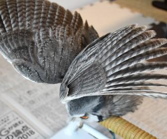 フクロウの伸び
