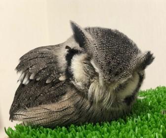 フクロウのアヒル寝