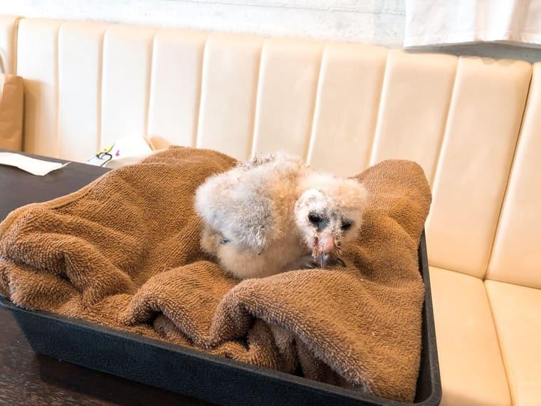 メンフクロウの赤ちゃん