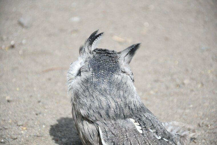 ミミズクの羽角