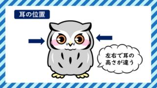 フクロウの耳の位置